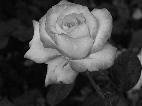 fiori bianco e nero foto gratis rosa impianto in bianco e nero immagine