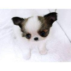 real puppies for free 1000 images about teacup puppy on yorkie tea cups and yorkies