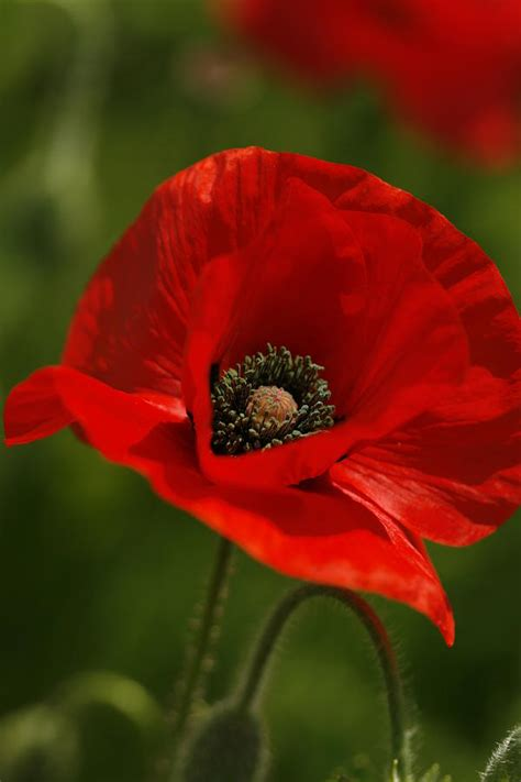 Home Decor Blogs Usa by Truly Red Oriental Poppy Wildflower Photograph By Kathy Clark