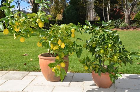Fruit Trees In Planters by Growing Citrus Trees In Pots The Tree Center