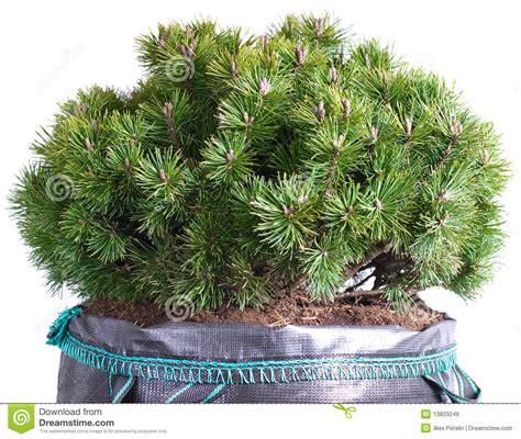 pino nano in vaso pino di montagna nana in un pot immagine stock libera da