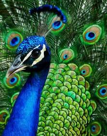 colors of a peacock www weddingcandynow when peacock is the wedding theme