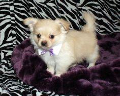 smooth coat mi ki puppies for sale mi ki puppy solid chocolate smooth coat wonderful world of mi ki breed colors