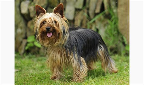 all about yorkies personality terrier breed information