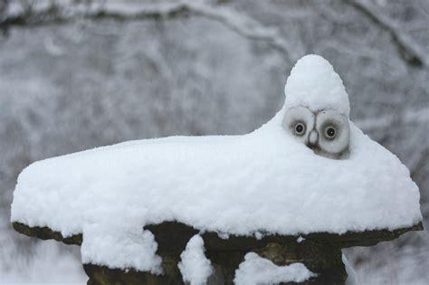 kostenloses foto schnee eule winter schneeeule