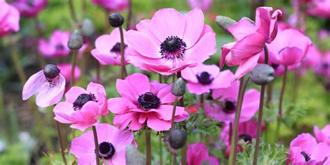 Home Decor Trends Of 2016 by History And Meaning Of Anemones Proflowers Blog