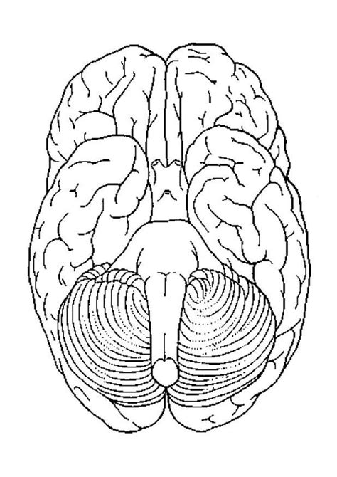 Brain Coloring Page Brain Anatomy Coloring Pages Az Coloring Pages by Brain Coloring Page
