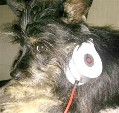 lost dogs san antonio 17 best images about missing schnauzers can be mix on miniature