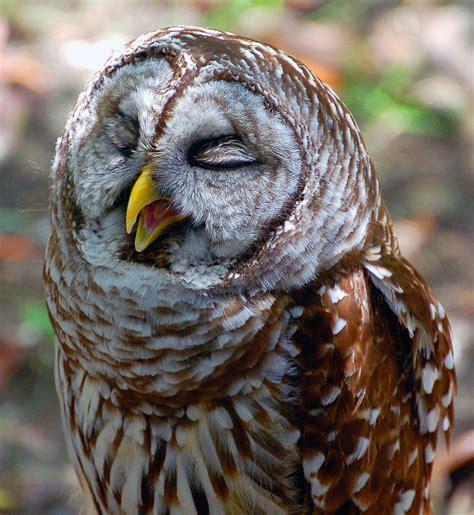 Sleepy Owl sleepy owl by donna proctor