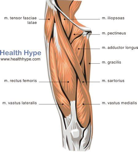 leg muscles diagram thigh muscles diagram pictures list of actions