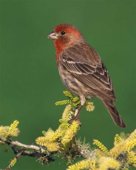 Backyard Shrubs House Finch Audubon Field Guide