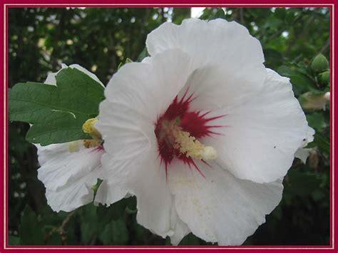 hibiskus im garten hibiskus im garten hibiskus im garten tipps zu sorten