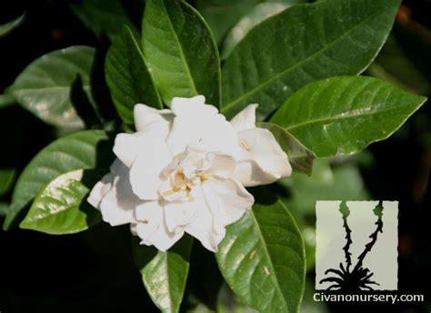 Gardenia Veitchii Pruning Civano Nursery Gt Catalog Gt Plant Gt Everblooming Gardenia