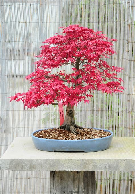 bonsai with japanese maples japanese maple bonsai trees