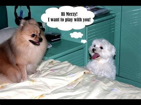 pomeranian vs maltese gucci the maltese vs merzy the pomeranian