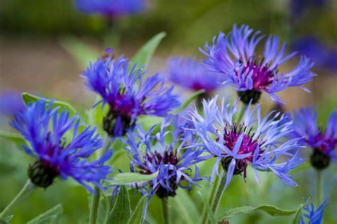 corn flower blue flower inspiration let s learn about flowers cornflower edition planning