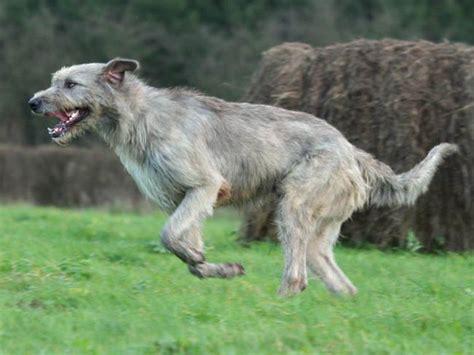 Lévrier irlandais : chien et chiot Irish Wolfhound ...
