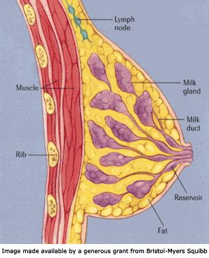 breast anatomy diagram breast anatomy and notes medically speaking