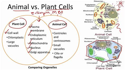 up letter between plant and animal cell 2 1 7 animal vs plant cells