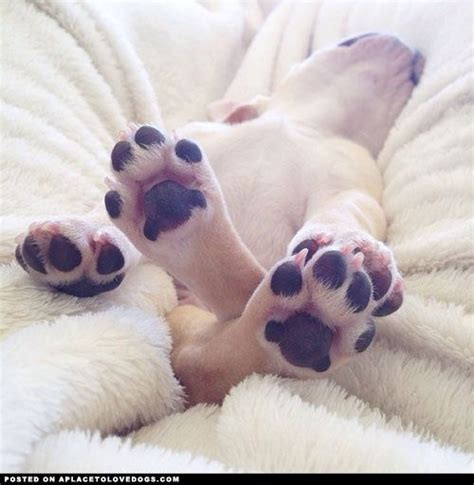 puppy toes frenchie puppy toes frenchies