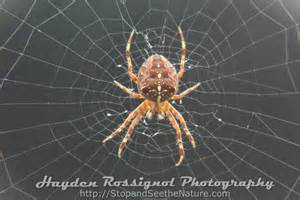 Garden Spider Pacific Northwest Garden Spider Pacific Northwest Garden Xcyyxh