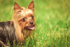 yorkie panting terrier puppy sitting and panting royalty free stock images image