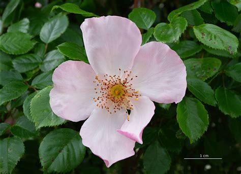 rosa tomentosa wikimedia commons