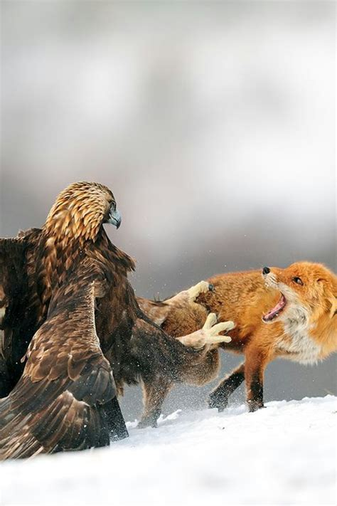 17 best images about mongolian eagle hunters on