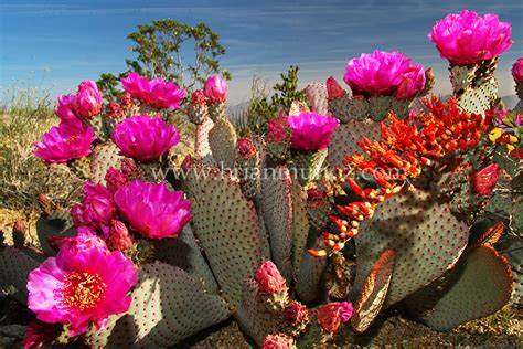 borrego desert flowers borrego spring california photos