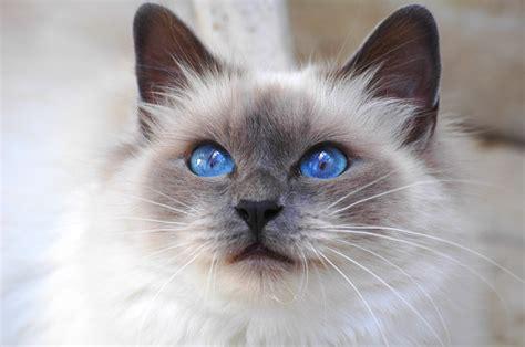 red cat wallpaper kota damansara обои священная бирма кот взгляд кошка синеглазая на