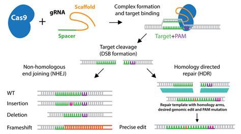 Addgene Crispr History And Development For Genome Engineering Crispr Repair Template