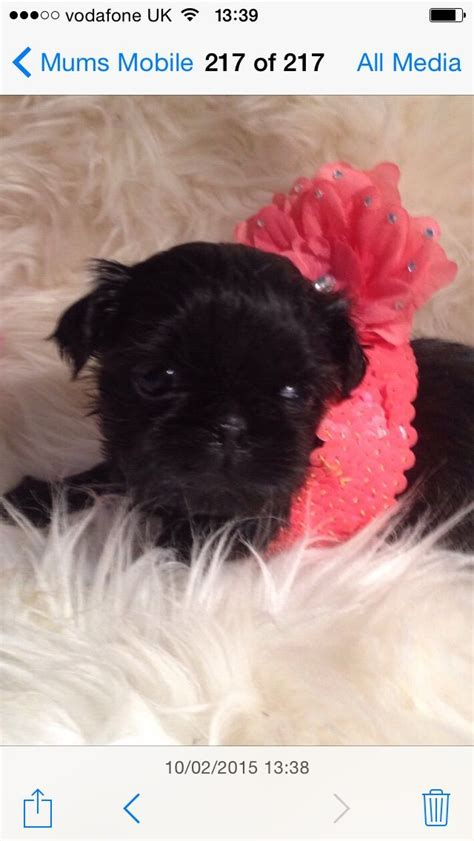 imperial shih tzu prices imperial shih tzu new reduced price kingston upon thames surrey pets4homes