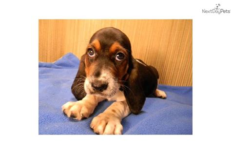 basset hound puppies ohio basset hound puppy for sale near tuscarawas co ohio 69ea0e46 9631