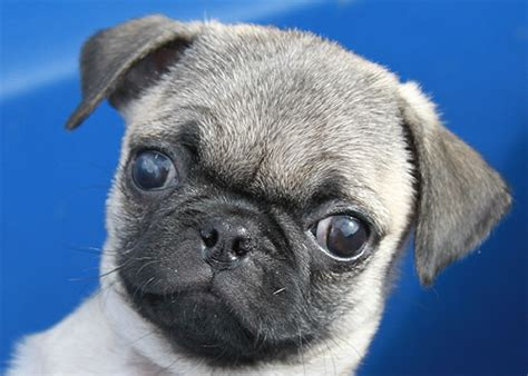 pugs for sale in utah pug puppy for sale pug breeder pug puppy pug for sale pug pug puppy bed