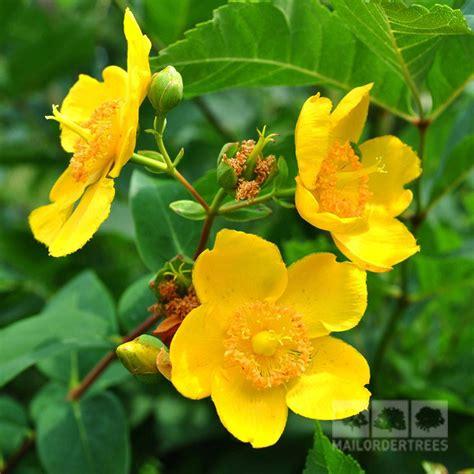 yellow flowered shrub crossword clue hypericum hidcote st s wort mail order trees