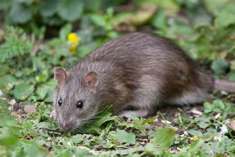 rats in the compost heap weil s disease safety concerns