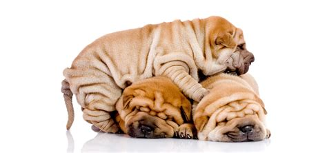 shar pei puppy cost shar pei insurance reviews and comparisons