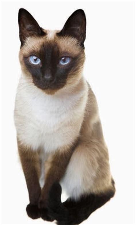 Cat Sepasang kucing siam kucing