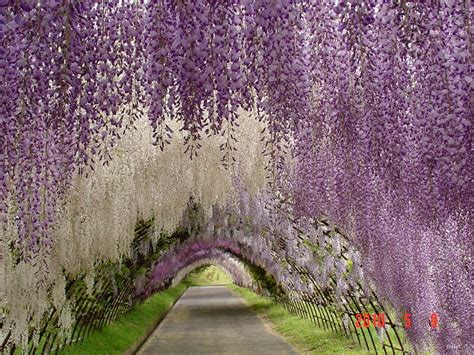 wisteria flower tunnel in japan japanese wisteria tunnel planet photography fotorimo