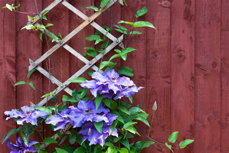 Wall Climbing Plants For Your Garden Using Climbing Plants In Your Garden Merrifield Garden