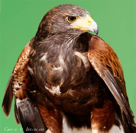 293 best raptors buteos hawks of the new world images