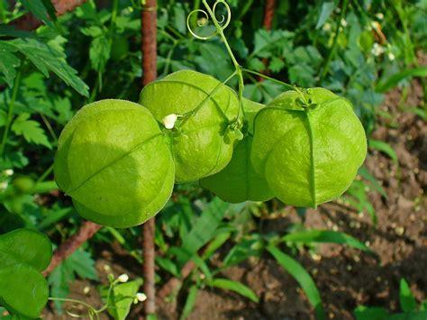 cadena de amor flower wikipedia love in a puff balloon vine cardiospermum halicacabum 12