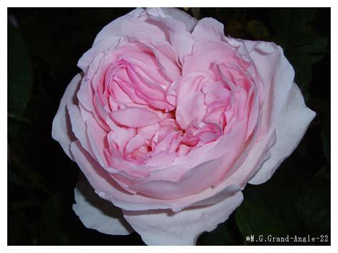 francoise hardy rose paroles mon amie la rose paroles c 233 cile caulier musique