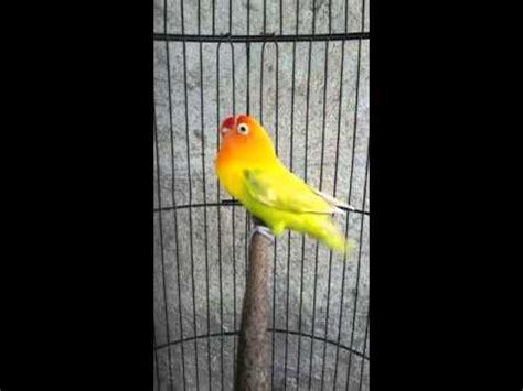 download mp3 lovebird download kicau burung lovebird ngekek panjang 20 detik