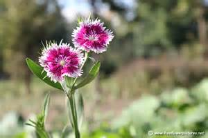 dianthus flower picture flower pictures 3932