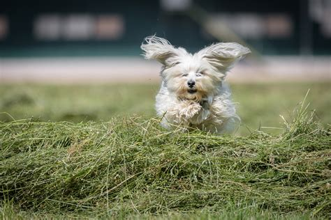 facts about havanese 7 cool facts about the havanese breed