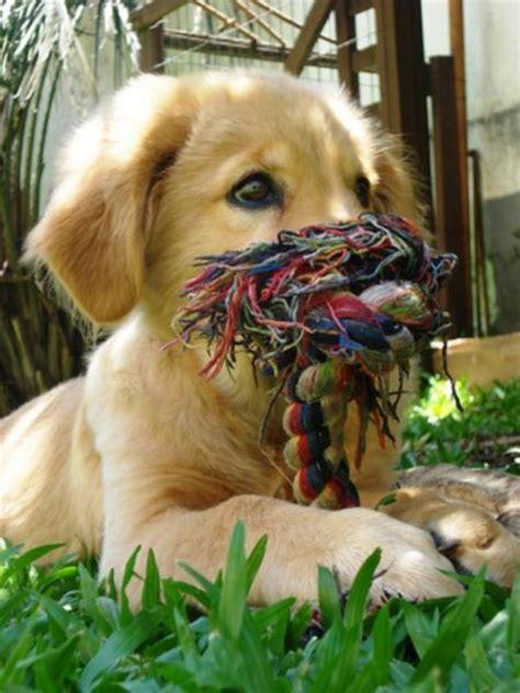 best vacuum for golden retriever hair buddha the golden retriever puppies daily puppy