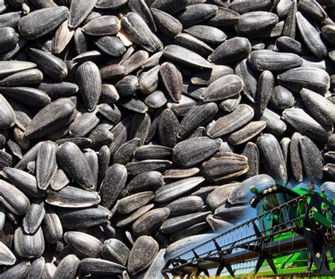 uk black sunflower seeds our products