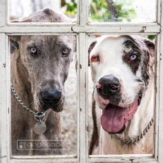 great dane puppies san diego dogscapes modern photography san diego by dogscapes on san