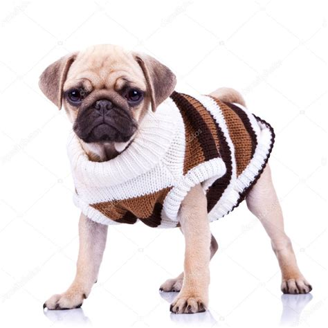 puppies wearing clothes standing mops wearing clothes stock photo 169 feedough 13515870